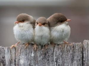 400_1339049420_1075808-1024x768-three-small-birds-1024x768jjpeg
